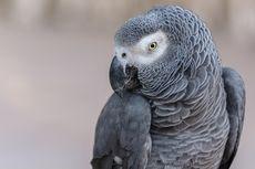 Burung Beo Abu-abu Afrika Punya Perilaku Unik, Ini Buktinya