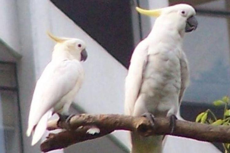 Burung kakaktua jambul kuning.