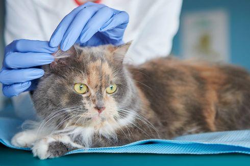 7 Cara Membersihkan Telinga Kucing yang Aman