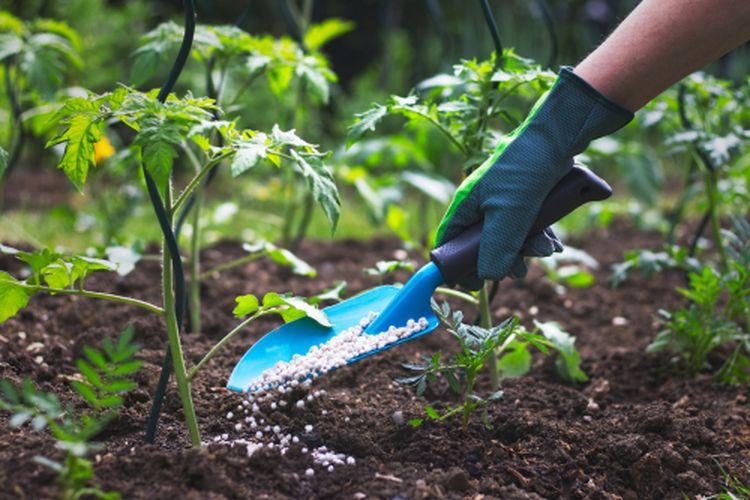 Memberikan pupuk pada tanaman