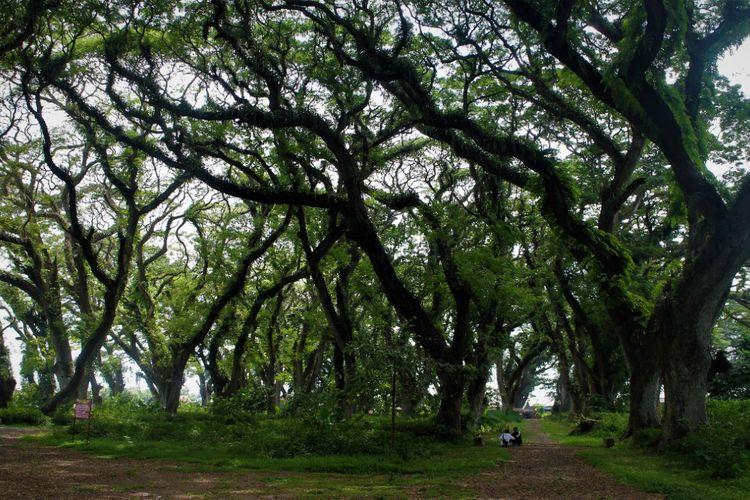 Hutan De Jawatan di Kabupaten Banyuwangi menjadi pilihan wisatawan untuk menikmati hari libur
