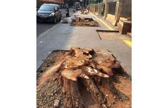 Pohon yang Ditebang demi Trotoar Cikini akan Diganti Pohon Penyerap Polutan