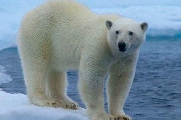 Ilustrasi beruang kutub.
