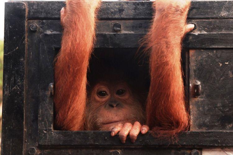 Sapto, Orangutan Sumatera (Pongo Abelii) saat dievakuasi YOSL-OIC dan BBKSDA Sumut ke Medan, Kamis (24/1/2019)