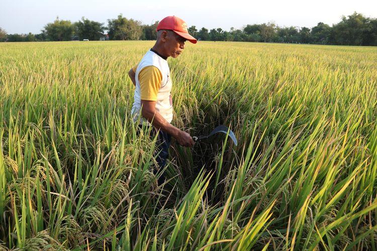 Petani dari Desa Tembelang, Kecamatan Tembelang, Kabupaten Jombang, Jawa Timur, menunjukkan beberapa bagian yang lahan yang terkena serangan hama wereng, Kamis (27/8/2020).