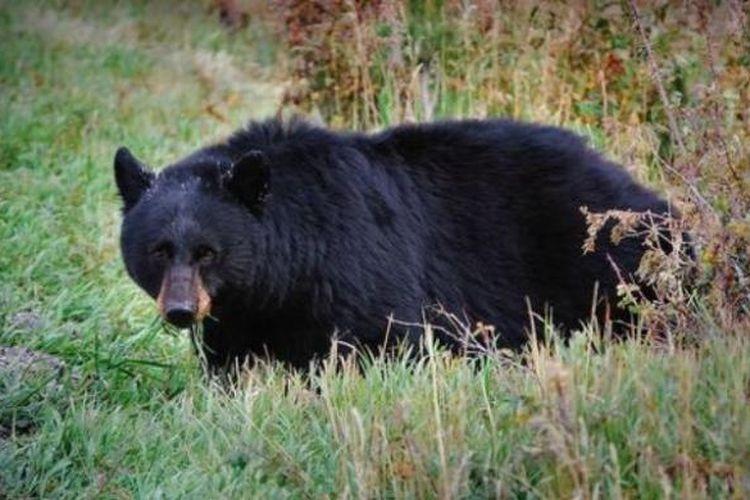 Seekor beruang hitam.