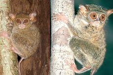 Peneliti Rilis Dua Spesies Baru Tarsius di Sulawesi
