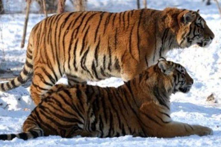 Dalam foto ini terlihat dua ekor harimau Siberia di Taman Harimau Siberia di provinsi Heilongjiang, China.