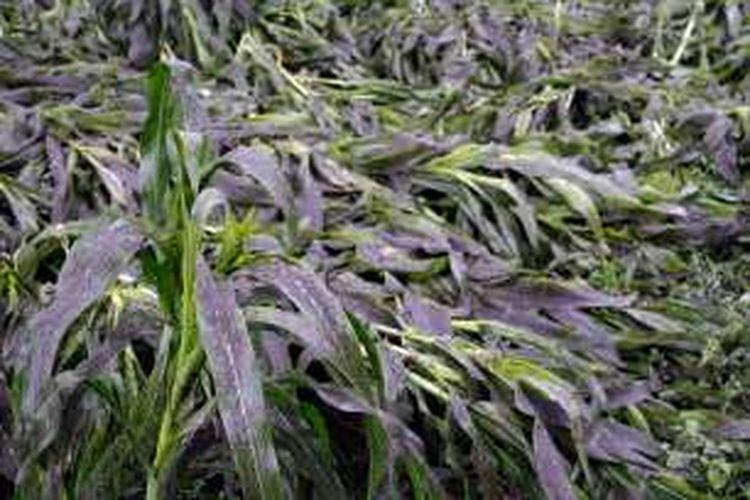 Debu vulkanik Gunung Api Soputan menutupi tanaman petani di Minahasa.