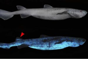 Hiu Glow In the Dark Ditemukan di Perairan Selandia Baru