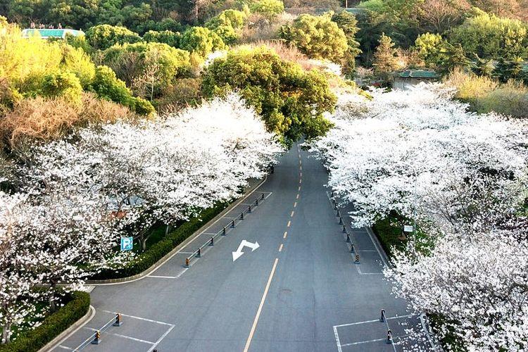 Bunga sakura di Wuhan, China.