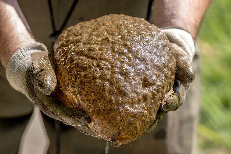 Spesimen Pectinatella magnifica yang ditemukan di laguna buatan, Vancouver, Kanada.