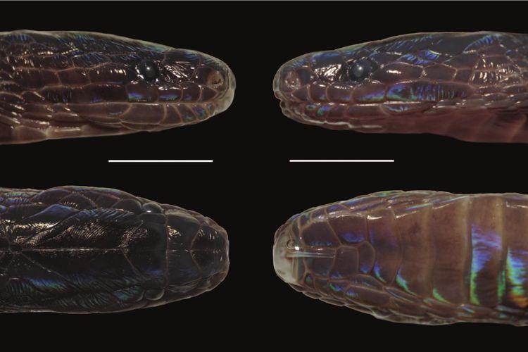 Spesies ular baru yang ditemukan di Vietnam oleh tim ilmuwan Amerika Serikat dan Vietnam. Ular aneh bersisik warna-warni ini dinamai Achalinus zugorum dan berasal dari genus ular langka, Achalinus.