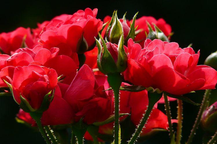 Ilustrasi bunga mawar merah.