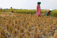 Sampai Akhir Agustus, 30.000 Hektar Sawah Berpotensi Puso