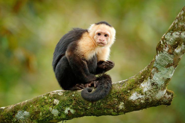 Ilustrasi monyet capuchin (Cebus imitator).