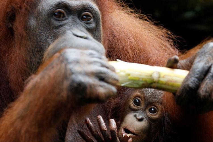 Bayi orangutan bernama Khansa bersama induknya Anita