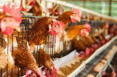 Sumsel Masuki Musim Pancaroba, Flu Burung Mengintai Hewan Ternak