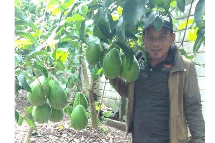 Alpukat Markus Aligator, apukat raksasa seberat 2 kg lebih per buah kini dikembangkan Iskandar, warga Desa Pojok, Kecamatan Garum.
