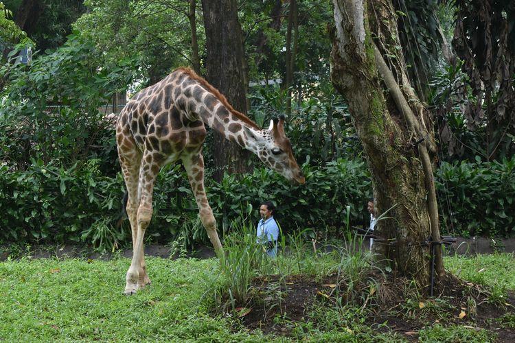 Tampak duo jerapah, Satwa Afrika yang bernama Kemal (2) dan Tania (2,7) tengah bercengkrama di area zona Afrika di Bazoga atau Kebun Binatang Bandung.