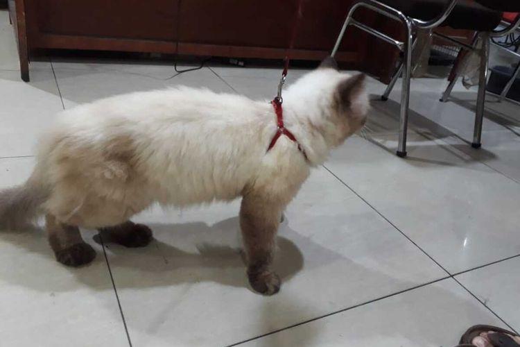 Penampakan satu dari tiga kucing himayala milik WW, warga Komplek Fortune, Jalan Bahagia,, Kelurahan Teladan Timur, Kecamatan Medan Kota, Pelaku berhasil tertangkap oleh warga dan diserahkan ke Unit Reskrim Polsek Medan Kota.