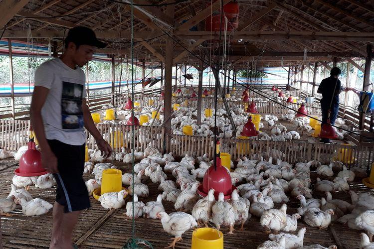 Peternak Ayam Potong, di Desa Balubu, Kecamatan Belopa Utara, Kabupaten Luwu mengeluhkan anjloknya harga, Kamis (27/06/2019)