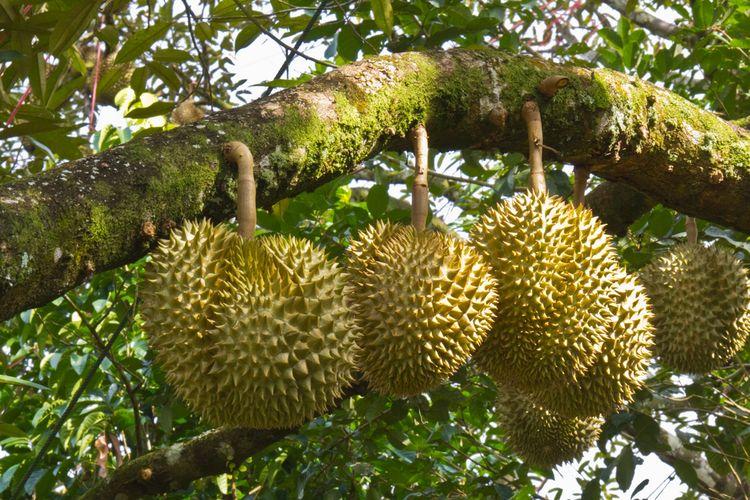 Ilustrasi pohon durian.