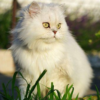 Ilustrasi kucing Persia