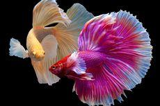 6 Makanan Segar Terbaik untuk Ikan Cupang, Apa Saja?