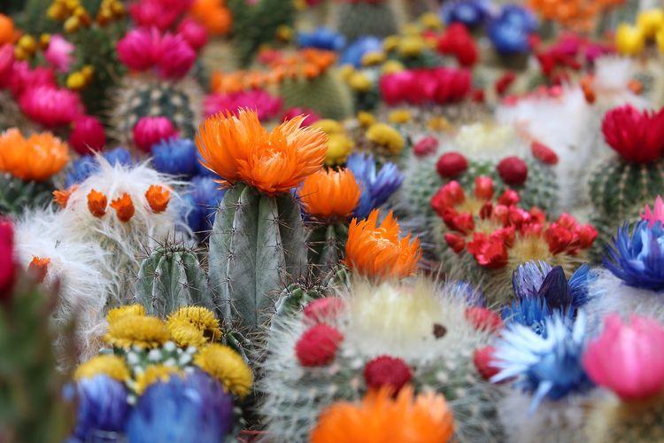 Kaktus bisa dimanfaatkan sebagai cemilan dan pelengkap spa