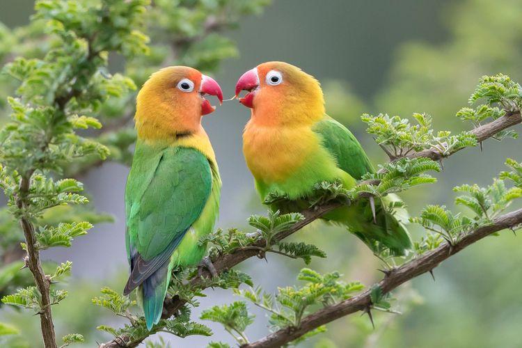 Lilian?s Lovebird