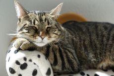 Cara Mengatasi Batuk pada Kucing