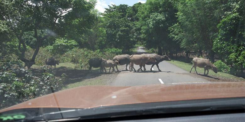 Mengemudi di Dompu, Nusa Tenggara Barat, mesti hati-hati sebab banyak hewan menyebrang.