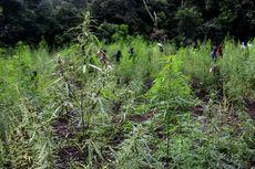 BNN: Ladang Ganja di Papua Tersebar di 3 Kabupaten