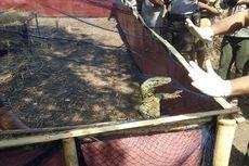 6 Komodo yang Gagal Diselundupkan Akhirnya Dilepasliarkan di Pulau Ontoloe NTT