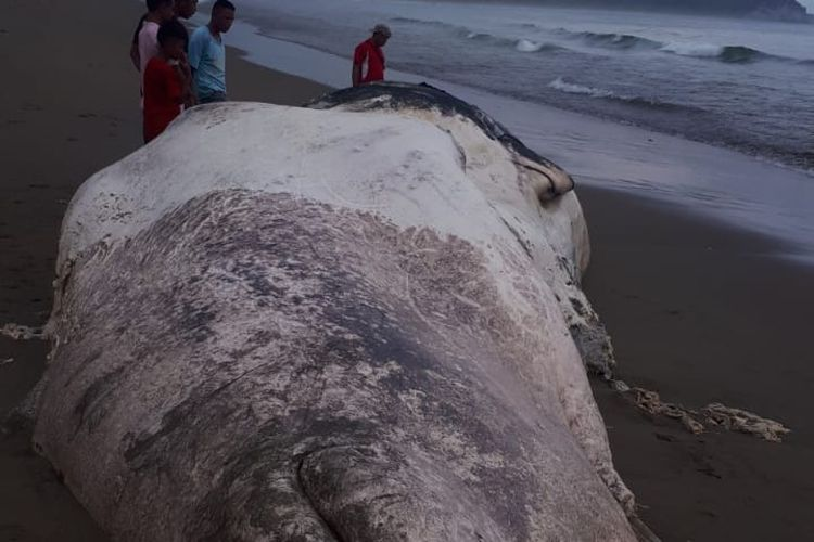 Bangkai paus terdampar di Pantai Waihungu, Desa Praimadita, Kecamatan Karera, Kabupaten Sumba Timur, Nusa Tenggara Timur (NTT).