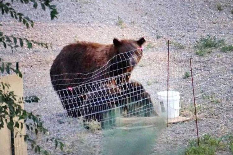 Induk beruang bersama dua anaknya memakan makanan yang ditinggalkan seorang warga di halaman belakang rumahnya.