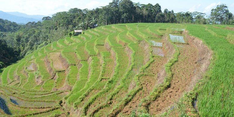Persawahan Mbeling dengan model terasering memberikan kesan tersendiri bagi turis Belgia yang melakukan wisata ekologi kawasan Mbeling, Kecamatan Borong, Manggarai Timur,Flores, NTT, Senin (14/8/2017).