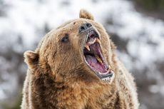 Ibu dan Bayinya Tewas Diserang Beruang Grizzly yang Kelaparan