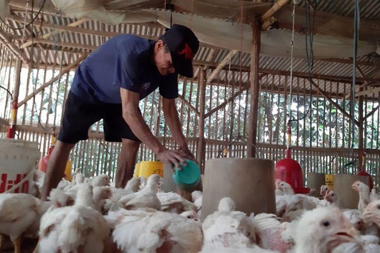 Salah seorang peternak ayam sedang memberi makan di Desa Kulu Kecamatan Karanganyar Kabupaten Pekalongan Jawa Tengah.