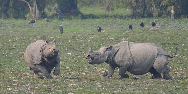 Badak bercula satu di Taman Nasional Kaziranga. Banjir di India telah menewaskan delapan badak langka ini, serta mengancam hewan liar lain di kawasan konservasi ini.