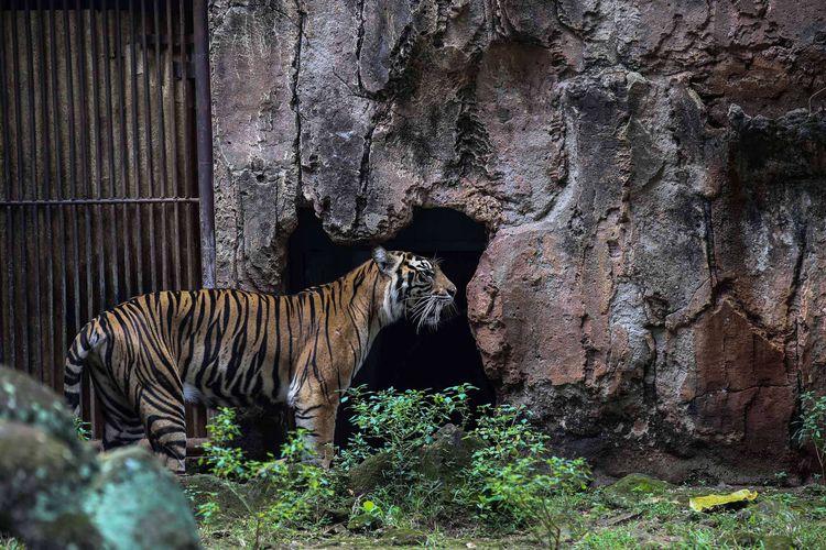 Harimau Sumatera terlihat di Kebun Binatang Ragunan, Jakarta Timur, Rabu (20/3/2019). Harimau diberi makan daging ayam.