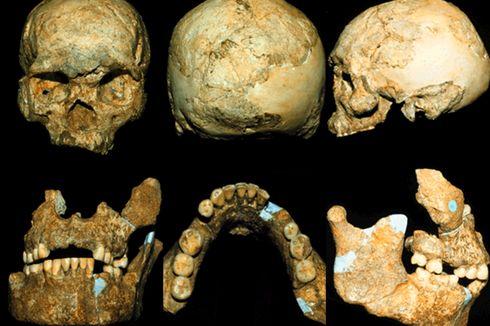 Homo Wajakensis: Penemu, Kehidupan, dan Ciri-ciri