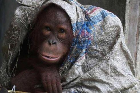 Kecubung dan Orangutan Daya Tarik Wisman ke Ketapang