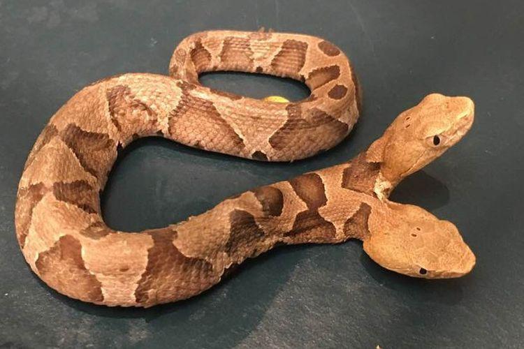 Perempuan AS temukan ular berbisa langka dengan dua kepala