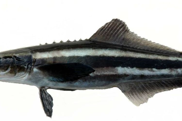 ikan kobia