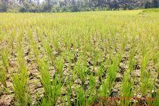 Kemarau Maju, Lebih dari 1.000 Hektar Padi Gagal Dipanen
