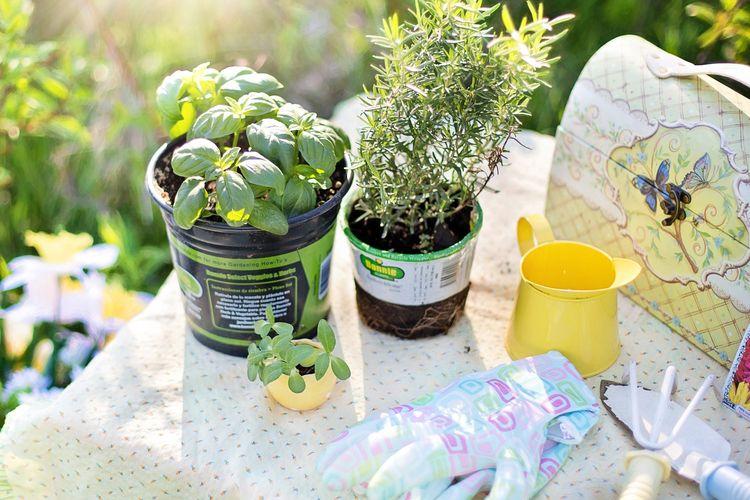 Ilustrasi menanam tanaman herbal.