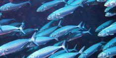 Jaga Keberlanjutan Ikan Banyar, Kementerian KP Lakukan Riset dengan Analisis Otolith