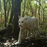 Langka, Puma Putih Tertangkap Kamera di Hutan Brasil